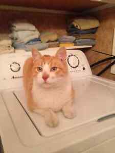 Medium orange and white cat lost on North end, please help