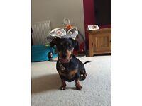 Stunning mini dachshund cross girl