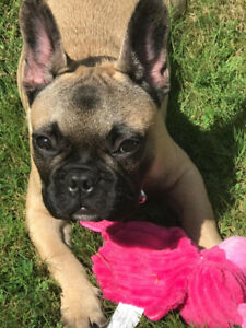 Very loving French bulldog for sale