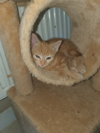 1 ginger male kitten