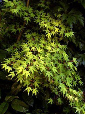 Elegante Japan (grünblättriger Japanischer Fächerahorn  elegant 60-80cm)