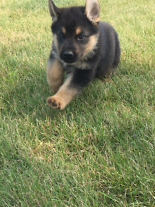 purebred german shepherd cost german shepherd adopt local dogs puppies in ontario 8374