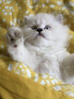 Super friendly 2 months old Persian kitten for sale!