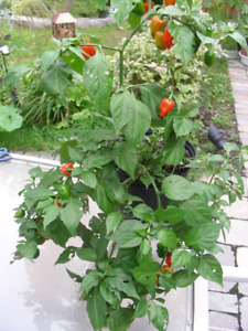 Scotch Bonnet Pepper Plant, 2 ft. tall. Lots of Peppers on it.