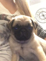 Female Pug Puppy Ready To Go To Forever Home!!!