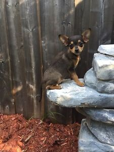Chihuahua X toy fox terrier pups ready now PRICE FIRM