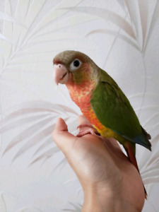 Cuddly Beautiful Conure Babies