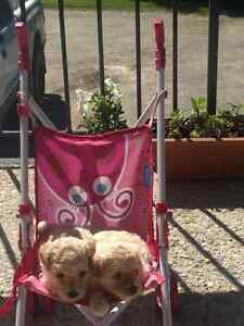 top poodles puppys almost ready for there forever homes