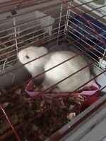 Holland Lop 6 months old