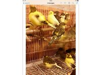 Female canary for sale