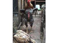 Shamo chicken cockerel