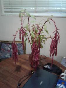 Amaranth Love Lies Bleeding Attention Seeker Edible Foliage