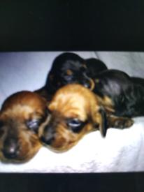 KC registered miniature dachsund puppies