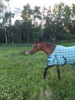 Beautiful 2003 Arab mare. Sweeps Nom