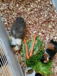 2 female guinea pigs. Large cage. Contact 7808398695
