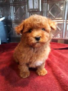 Red Tiny Toy Poodle puppies!