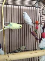 White Male Budgie