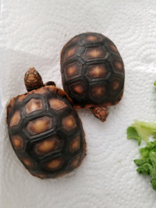 Two adorable redfoot torts available