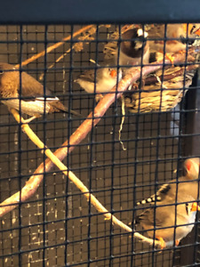 Young  Society and Zebra Finches