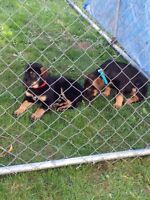 Rotti shepherd puppies ONE FEMALE LEFT