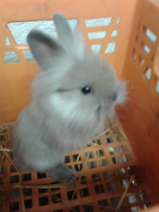 Lionhead Bunnies - only males left.