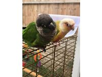 Pair of conures comes with cage stand and food
