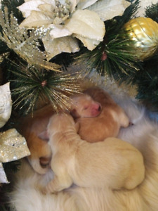 "Purebred Golden Retriever ""Christmas Puppies"""