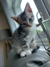 Meryl Grey Kitten