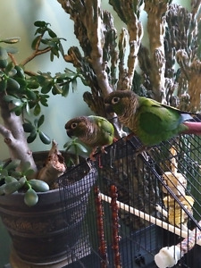 Pair of Green Cheeked Conures for sale