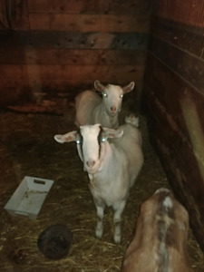 Reduced! 2  wether goats for sale