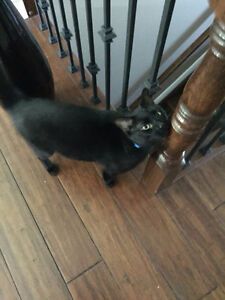Black Cat For Sale Family Friendly