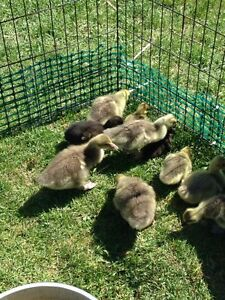 Goslings for Sale