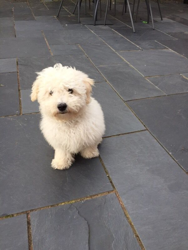 Bichon Frise puppy | in Newcastle-under-Lyme, Staffordshire | Gumtree