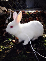 cute adult rabbit for sale (with large cage)