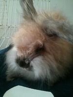 English Angora Rabbit Available