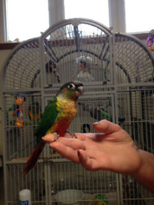 Gorgeous Hand Raised Yellowsided Baby Conures