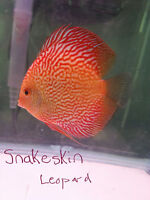 Showtank adult discus fish HUGE 5 day sale! Buy+get FREE!