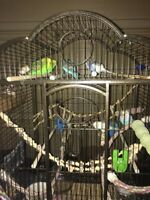 6 budgies and cage