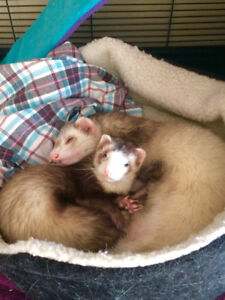 Wanting a ferret to add to our family