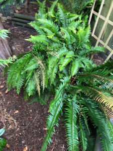 Plant Ferns, westcoast sword ferns