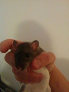 Rats for sale for a pet