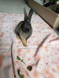 Baby Bunny Rabbits For Adoption