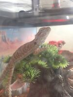 bearded dragon comes with tank !!!