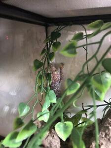 TOKAY gecko for sale