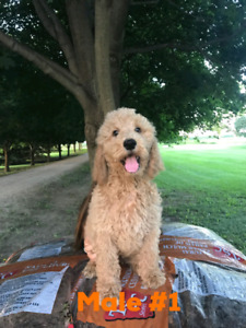 3 Male Apricot Standard Poodle Puppies