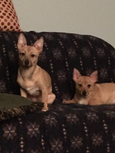 1 female and 1 male chihuahua for sale / a vendre