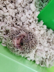 4 Baby Hedgehogs