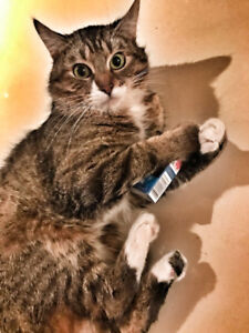 1 year old adult tabby cat looking for a new home