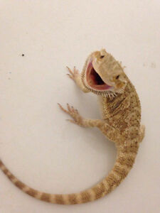 2 year old female bearded dragon needs a new home