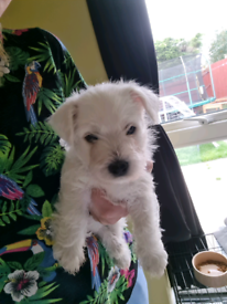 Beautiful female westie puppy for sale 6 weeks old